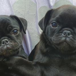 2 Valentines Day Pugs all sold