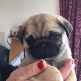 Gorgeous Registered Pedigree Pug babies