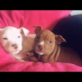 American Bulldog x American Pitbull puppies