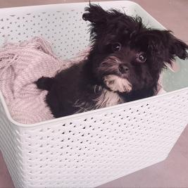 Yorky Poo Puppy (heaps of personality)