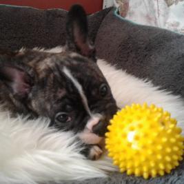Bulldogs | Pets 4 Sale