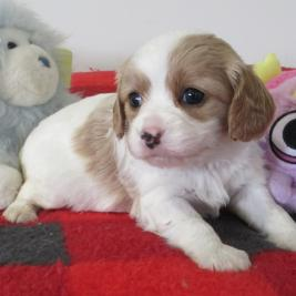 Toy Cavoodle girl