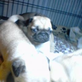 adorable puggies!!