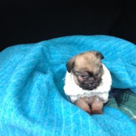 Griffon  X  toy poodle