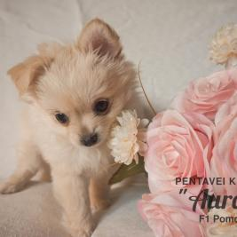 Adorable Pomchi Puppy