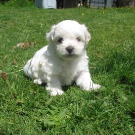 Gorgeous Maltichon Puppies