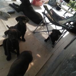 Neo Mastiff X Labrador
