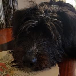 Wanted Cairn Terrier or Yorkiepoo