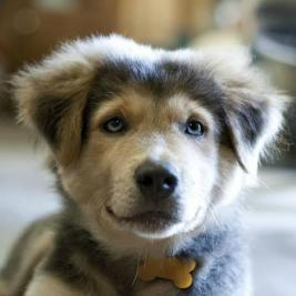 WANTED Siberian Husky & Golden Retriever puppy