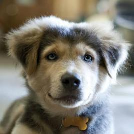 WANTED Siberian Husky & Golden Retriever puppy