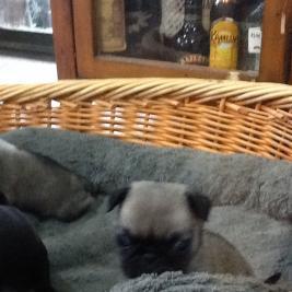 Beautiful pedigree pug puppies