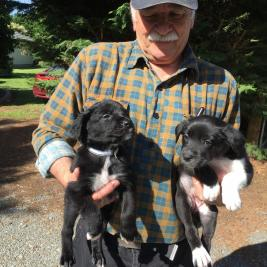 Collie x Hunterway Pups $800