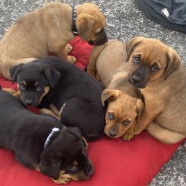 Rottweiler X Bordeaux puppies