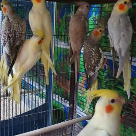 cockatiels,young silver,whiteface,lutino ,pearl