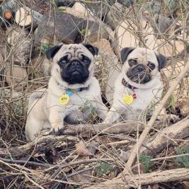 Pug Pups Purebreed Sold!