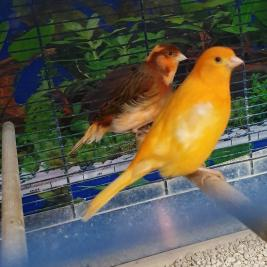 canaries,young birds,very good looking