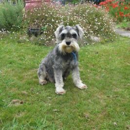 Miniature Schnauzer Dog     ON HOLD
