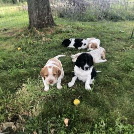 Brittany Pups for sale