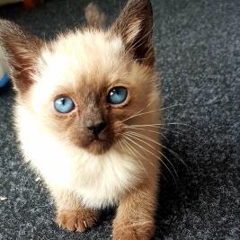 Stunning Siamese Kitten