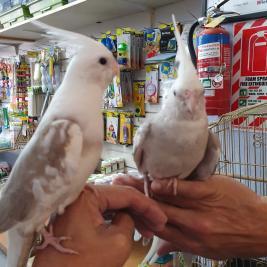 Super tame hand reared white head cockatiels