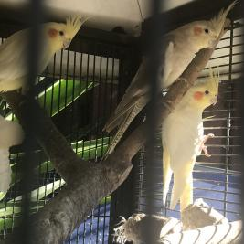Cockatiels and come with cage