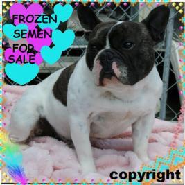 Nzkc (dogs Nz) Reg French Bulldog Frozen Semen