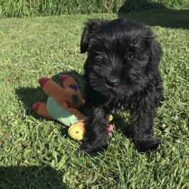 Black Miniature Schnauzer Puppy