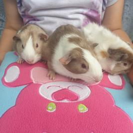 3 little guinea pigs (and mummy pig) need homes