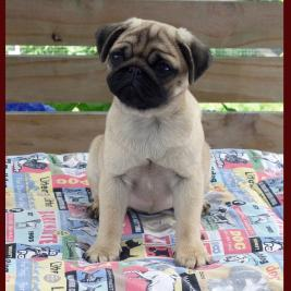PUG Puppy Girl: Stunning 4 Month NZKC Registered.