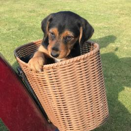 Airedale / Huntaway Cross Puppies