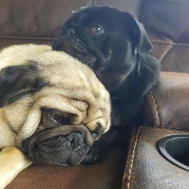 Purebreed Pug Puppies - Dogs NZ (NZKC) Registered