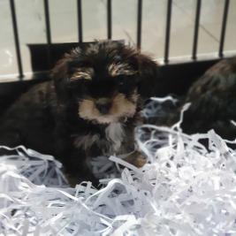 Cavalier king charles X miniature schnauzer pups