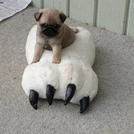 pure bred pug puppies, ready for new homes
