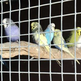 **Adult & Baby Budgies**