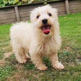 Westiepoo (non contact delivery available)