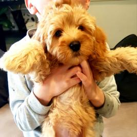 Cavoodle Pup!! First generation