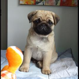 Pug Puppy Boy 3.5 months old Dogs NZ (NZKC Reg)