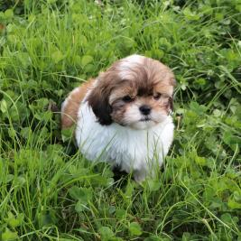Cavoodle Puppies.