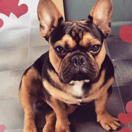 Stunning Black & Tan French Bulldog stud
